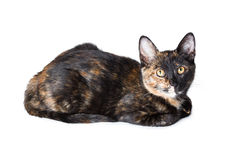 Young tricolor cat Stock Photography
