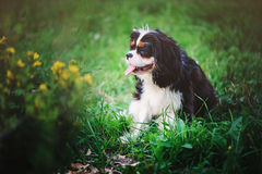 Young tricolor cavalier king charles spaniel sitting in summer garden Stock Photo
