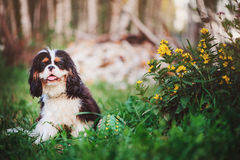 Young tricolor cavalier king charles spaniel sitting with toy ball in summer Royalty Free Stock Photography
