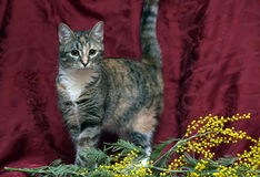 Young tricolor striped cat and mimosa Royalty Free Stock Photo