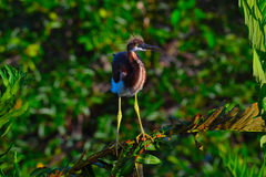 Young Tricolored Heron (Egretta tricolor) perched on branch. Royalty Free Stock Image