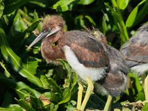 Young tricolored herons Royalty Free Stock Image