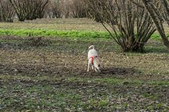 A young truffle dog in a hazel grove of the Langhe, Piedmony - I. A young truffles dog is looking for truffle in a hazel grove of the Langhe, Piedmony - Italy stock photography