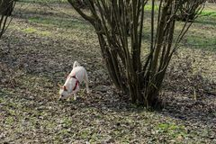 A young truffle dog in a hazel grove of the Langhe, Piedmony - I. A young truffles dog is looking for truffle in a hazel grove of the Langhe, Piedmony - Italy royalty free stock images