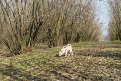A young truffle dog in a hazel grove of the Langhe, Piedmony - I. A young truffles dog is looking for truffle in a hazel grove of the Langhe, Piedmony - Italy royalty free stock photography