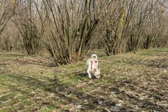 A young truffle dog in a hazel grove of the Langhe, Piedmony - I. A young truffles dog is looking for truffle in a hazel grove of the Langhe, Piedmony - Italy royalty free stock photo