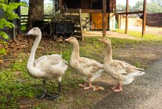 A young trumpeter swan in florida Royalty Free Stock Photos
