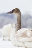 Young trumpeter swan portrait Stock Photos