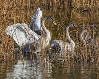 Young Trumpeter swans. Trumpeter swan cygnets, starting to loose their gray coloring, in Potter Marsh, Alaska, before the fall migration Royalty Free Stock Image
