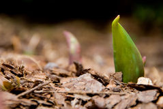 Young tulip plant Royalty Free Stock Photos