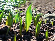 Young tulip plants growing stock photos