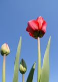 Young tulips Stock Image