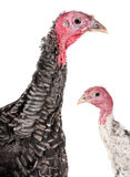 Young turkey Stock Photos