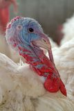 Young turkey Stock Photography