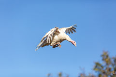 Young turkey flying over tree Stock Image