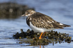 Young Turnstone which stands in the water autumn Royalty Free Stock Photography
