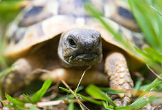 Young turtle Royalty Free Stock Photos