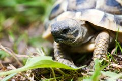 Young turtle Royalty Free Stock Image