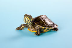 Young turtle Stock Images