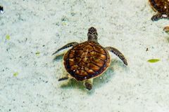 A Young Turtle. A young beige & brown turtle in a clean water pond. New Providence Island, Nassau, Bahamas stock images