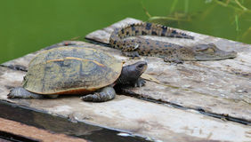 Young  turtle with crocodile Royalty Free Stock Photography