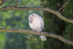 Young turtle-dove cleans feathers with its beak Stock Photo