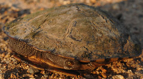 Young Turtle In It's Shell Stock Image