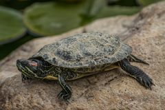 Young turtle on the beach. A young turtle sitting on the shore of a small pond stock image