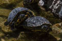 Young turtle sunbathing. On top of other turoises royalty free stock photo
