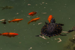 Young turtle swimming. Young turtle swiming next to goldfish stock image