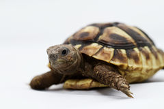 Young turtle on a white background Royalty Free Stock Photo