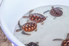Young turtles in the pail. Five cute young turtles in the pail with water stock image
