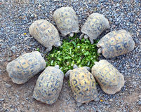 Young turtles stand circle and eating salad Royalty Free Stock Photos