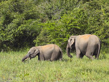 Young tusker with mother Stock Images