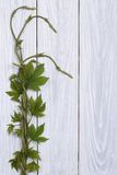 Young twig hops with sprouts and leaves Stock Photos