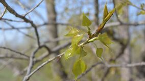 Young twig of a poplar tree. With fresh lush leaves stock video