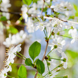 Young twig with white spring blossoms Stock Photo