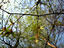 Young twigs. The sun caresses branches helps to grow Royalty Free Stock Photo