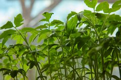 Young twigs of tomatoes growing in greenhouse. royalty free stock image