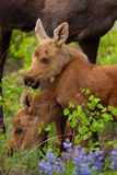 Young Twin Moose Royalty Free Stock Image