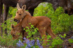 Young Twin Moose. Cow moose and two calfes  in the wild, in Alaska Royalty Free Stock Images