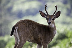 Young Two Year Old Male Deer royalty free stock image
