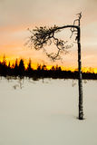 Young ugly pine in winter Royalty Free Stock Images