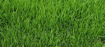 Young, uncut grass Stock Photo