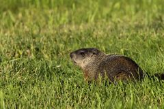 The groundhog Marmota monax woodchuck. Young underground watching the surroundings, in danger is hiding in the burrow stock images