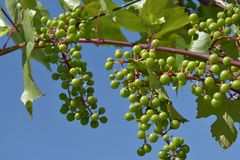 Young unripe fruit of grapevine. Sunny day. Royalty Free Stock Images