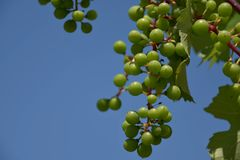 Young unripe fruit of grapevine. Sunny day. Royalty Free Stock Photo
