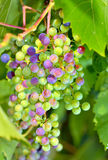 Young unripe grapes Royalty Free Stock Photo