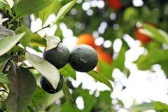 Young unripe oranges. On the orange tree Stock Photo