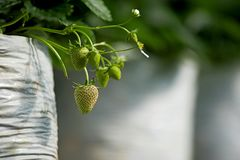 Free Young Unripe Strawberry On It`s Branch With Leaf Royalty Free Stock Photos - 167762038